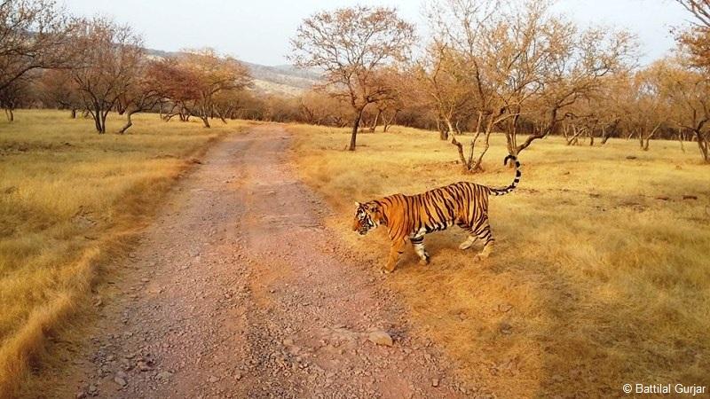 Tiger Safari in India - Ranthambhore