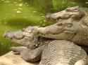 Madras Crocodile Bank visiting hours